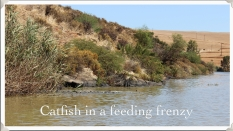 Catfish in a feeding frenzy ~ Berg River ~ Feb 2013
