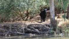 A cow on the banks of the Berg River