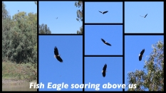 Fish Eagles ~ Berg River ~ Feb 2013