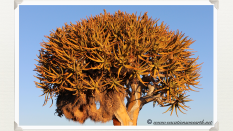 A close up of the Quivertree at Giants Playground - Namibia 2013 (August)