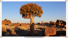 An old Quivertree at Giants Playground - Namibia 2013 (August)