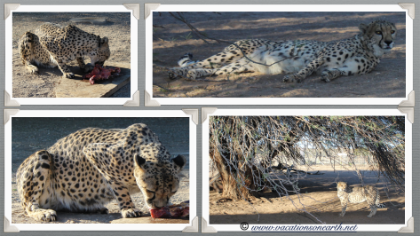 Namibia 2013 - Cheetahs feeding at Quivertree Forest Rest Camp (August)