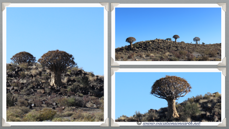 Quivertrees at Quivertree Forest Rest Camp - Namibia 2013 (August)