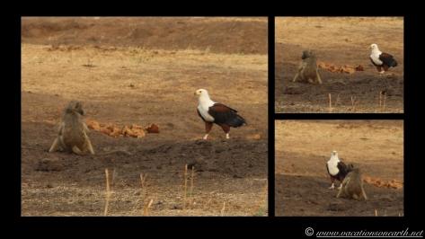 Namibia:Botswana Aug 2013 - Senyati Safari Camp, Chobe, Botswana.018