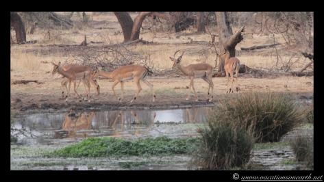 Namibia:Botswana Aug 2013 - Senyati Safari Camp, Chobe, Botswana.025