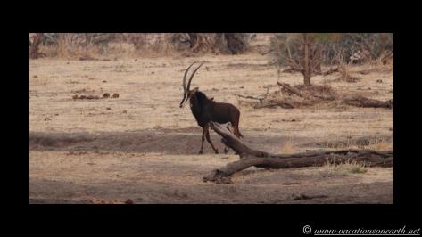 Namibia:Botswana Aug 2013 - Senyati Safari Camp, Chobe, Botswana.030
